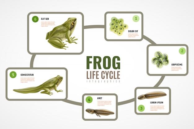 Grafico infographic realistico del ciclo di vita della rana dal girino di sviluppo dell'embrione di massa delle uova all'animale adulto