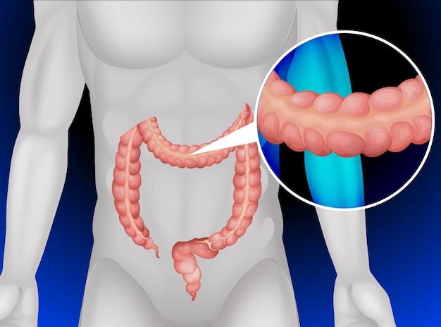 Grande intestino nel corpo umano