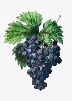 Grappolo d'uva blu