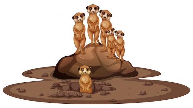 Gruppo di suricati che sorridono sulla roccia