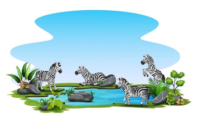 Gruppo di zebra che gioca nel piccolo stagno
