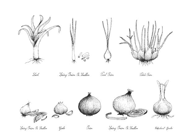 Hand drawn of bulb vegetables su sfondo bianco
