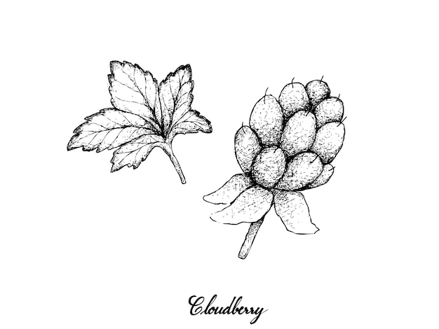 Hand drawn of fresh cloudberry