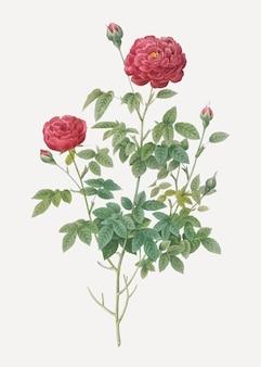 Il cavolo rosso della borgogna è aumentato in fioritura