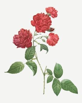Il cavolo rosso è aumentato in fioritura