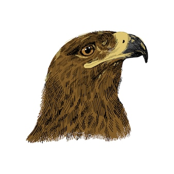 Il falco sacro falco cherrug illustrazione colorata. disegno di schizzo disegnato a mano dell'aquila. uccello per falconeria, animale selvatico, ritratto testa di falco.