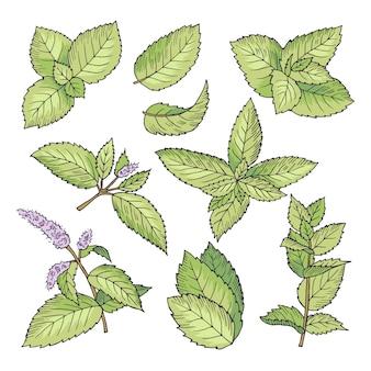 Il vettore differente ha colorato le illustrazioni della menta di erbe. immagini disegnate a mano di foglie e reggiseno di mentolo