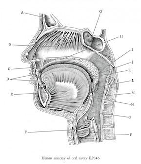 Illustrazione antica dell'incisione dell'isolato in bianco e nero di clipart della cavità orale, anatomia umana per istruzione medica.
