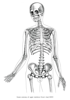 Illustrazione antica dell'incisione di anatomia umana di clipart in bianco e nero dello scheletro superiore (vista frontale) isolata