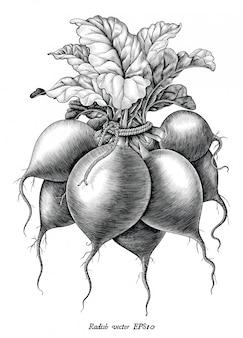 Illustrazione antica dell'incisione di clipart in bianco e nero di stile d'annata di tiraggio della mano del ravanello isolata