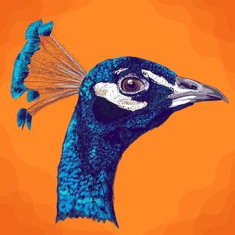 Illustrazione antica incisione della testa di pavone