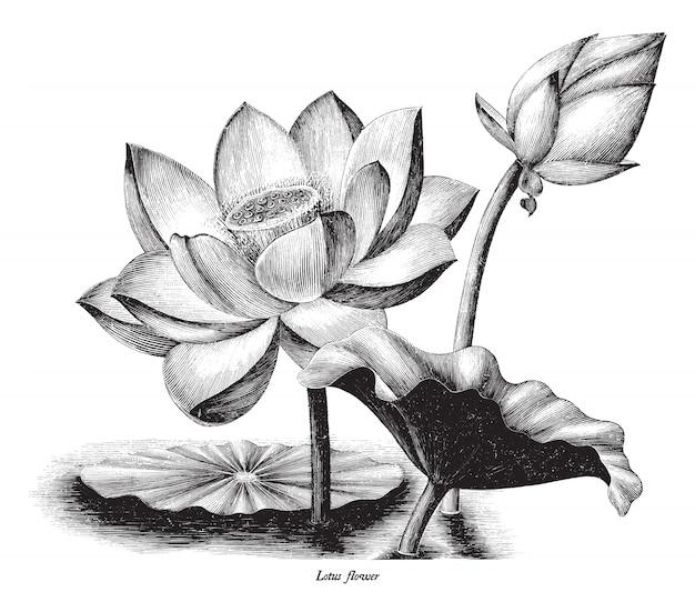 Illustrazione botanica dell'incisione d'annata del fiore di loto isolata su fondo bianco