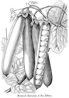 Illustrazione botanica di pisello che incide clipart in bianco e nero d'annata isolata
