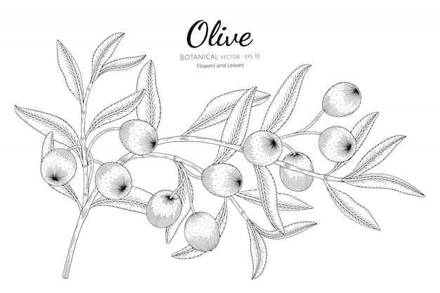 Illustrazione botanica disegnata a mano dell'albero di oilve con la linea arte su bianco