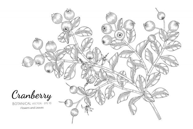 Illustrazione botanica disegnata a mano della frutta del mirtillo rosso con la linea arte su bianco