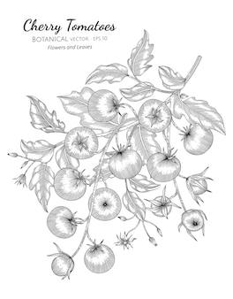 Illustrazione botanica disegnata a mano di pomodoro ciliegino con disegni al tratto su sfondi bianchi.