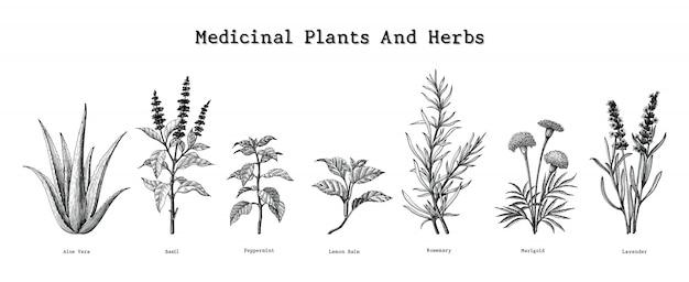 Illustrazione d'annata dell'incisione del disegno della mano delle erbe e delle piante medicinali