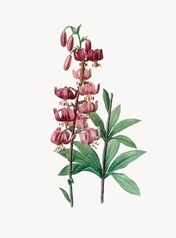 Illustrazione d'epoca del martagone di lilium