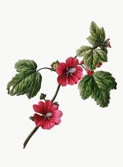 Illustrazione d'epoca della rosa cinese