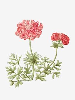 Illustrazione d'epoca di anemoni