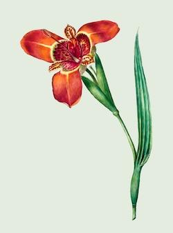 Illustrazione d'epoca di ferraria tigrina flower