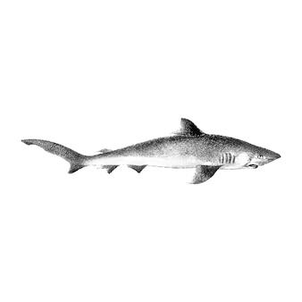 Illustrazione d'epoca di squalo
