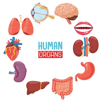 Illustrazione degli organi umani