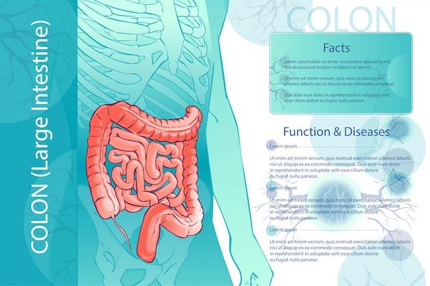 Illustrazione del diagramma vettoriale del colon umano