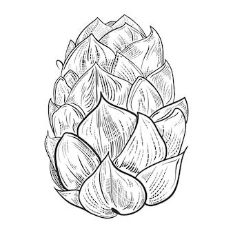 Illustrazione del luppolo della birra nello stile dell'incisione isolata su fondo bianco.