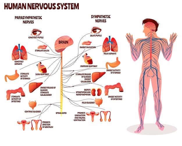Illustrazione del sistema nervoso umano. disegno del fumetto del corpo dell'uomo con cervello parasimpatico