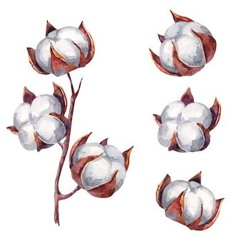 Illustrazione dell'acquerello del ramo del cotone su fondo bianco