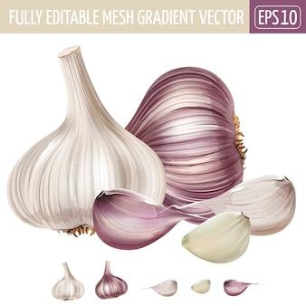 Illustrazione dell'aglio su bianco