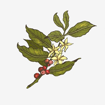 Illustrazione dell'albero di caffè.