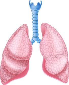Illustrazione dell'anatomia sana dei polmoni