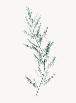 Illustrazione dell'annata del sarmentosus dell'asparago