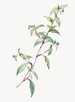 Illustrazione dell'annata di birdbill dayflower