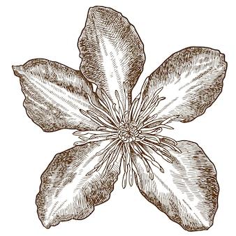 Illustrazione dell'incisione del fiore della clematide