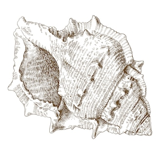 Illustrazione dell'incisione della conchiglia a spirale