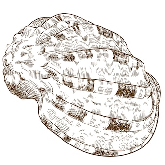 Illustrazione dell'incisione della conchiglia della conca