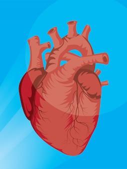 Illustrazione dell'organo cardiaco