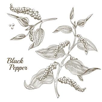 Illustrazione della pianta di pepe nero con foglie e pepe in grani, isolato su sfondo bianco.