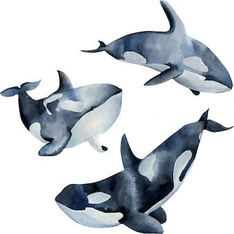 Illustrazione delle balene di assassino dell'acquerello, raccolta dipinta a mano