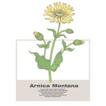Illustrazione delle erbe mediche arnica montana.