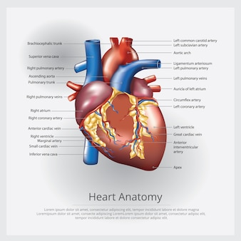 Illustrazione di anatomia del cuore umano