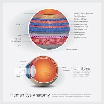Illustrazione di anatomia dell'occhio umano