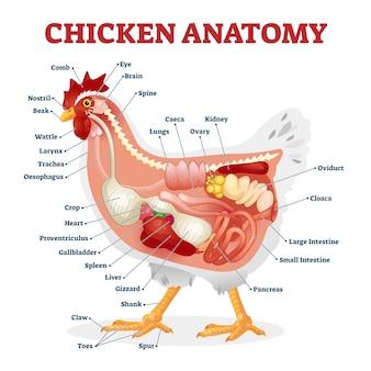 Illustrazione di anatomia di pollo