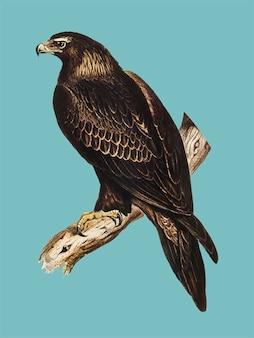Illustrazione di aquila dalla coda a cuneo