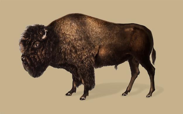 Illustrazione di bisonte americano