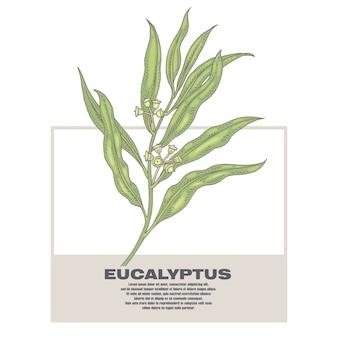 Illustrazione di erbe medicinali eucalipto.