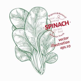 Illustrazione di foglie di spinaci. illustrazione di verdure disegnate a mano
